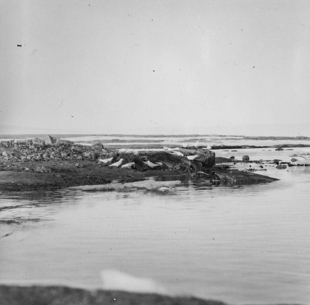 Hvalross på Kvitøya 1930. Foto: Trolig Adolf Sørensen